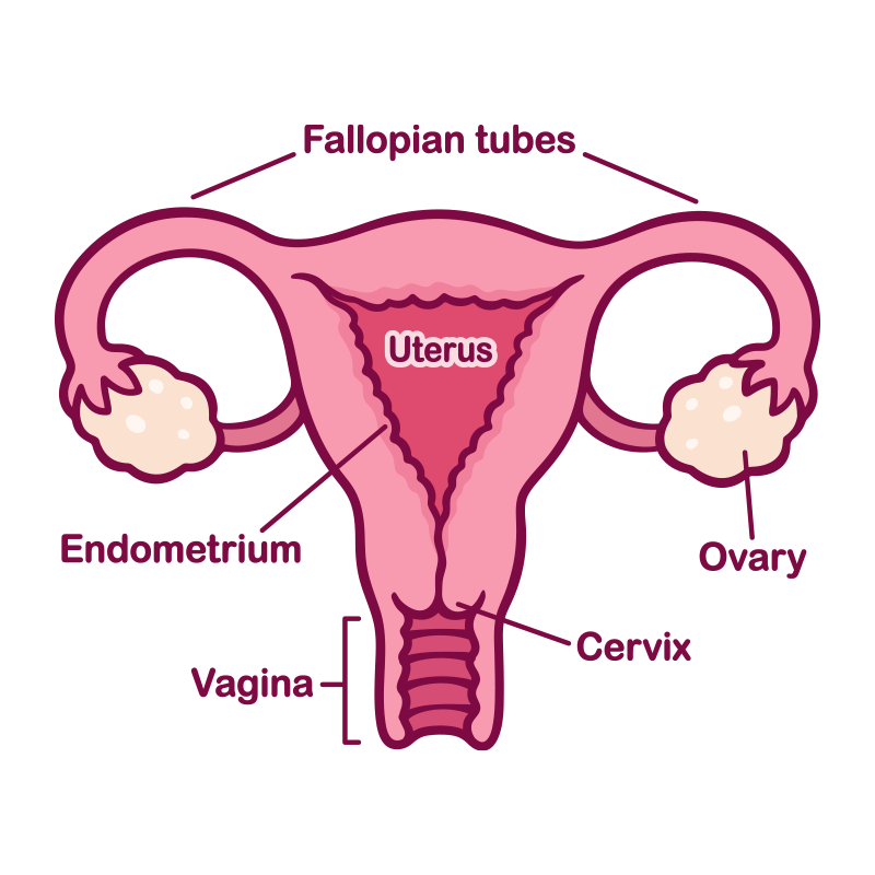 Illustration of the female reproductive system including the cervix