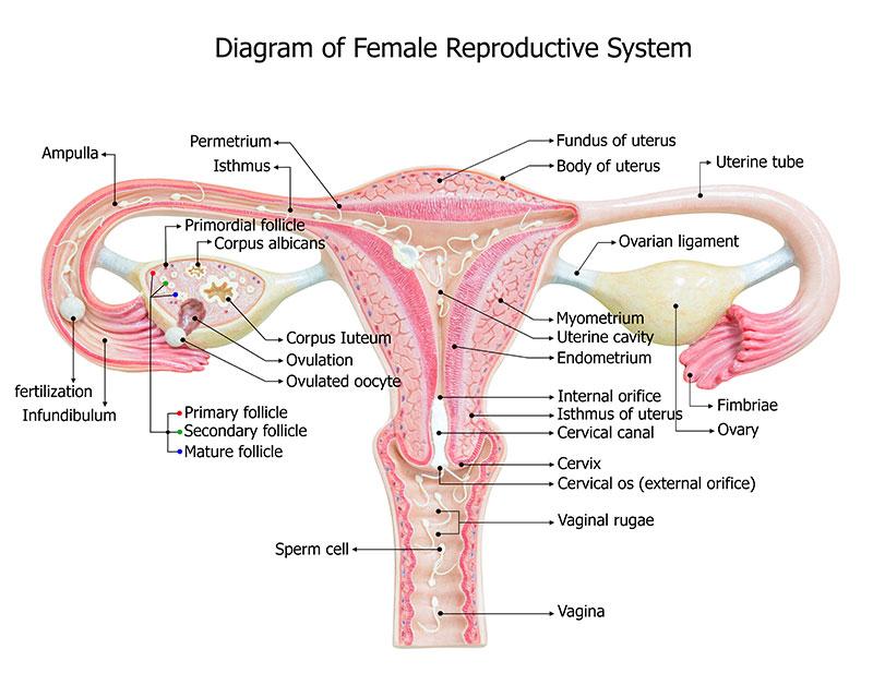 Cervix extreme close up