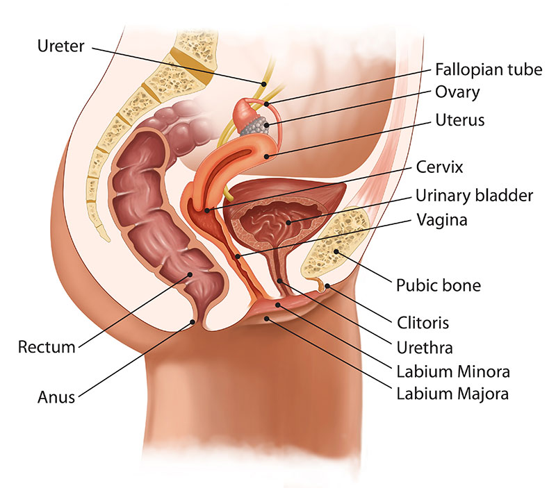Female reproductive system from the side