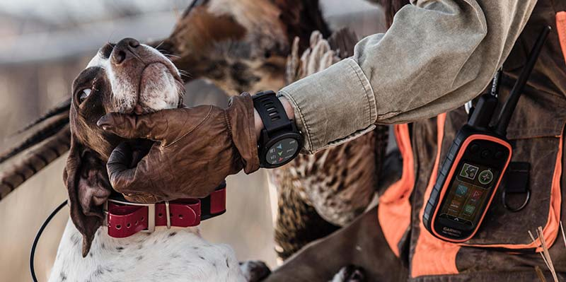 Hunting dog with GPS collar and Garmin Astro handheld dog tracking device